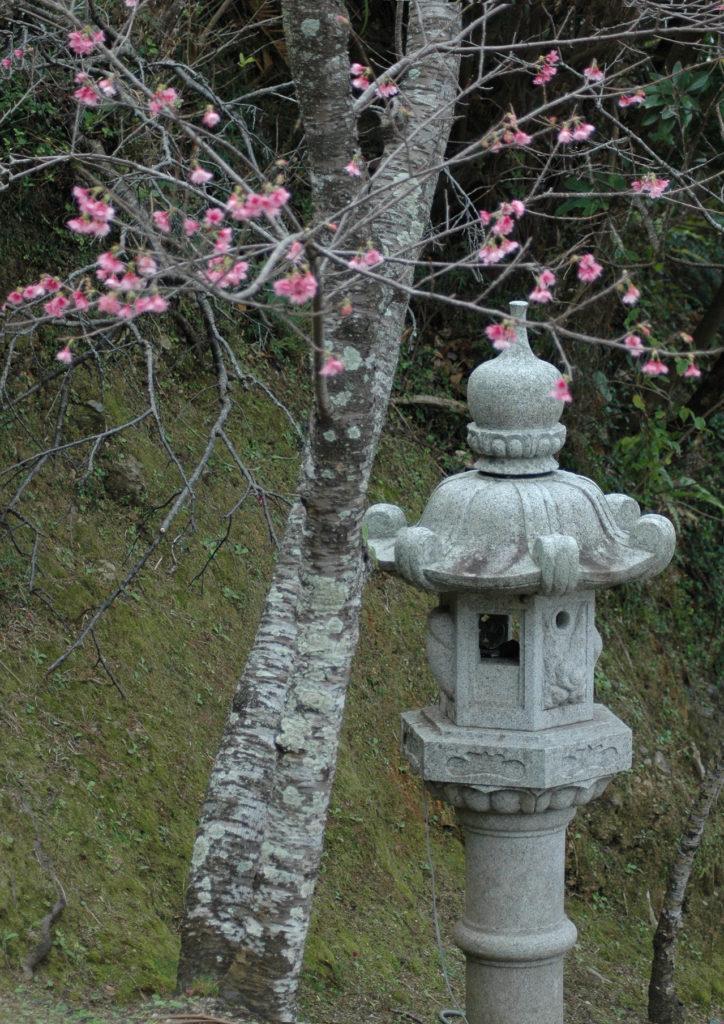 Lanterne japonaise et fleurs de cerisier