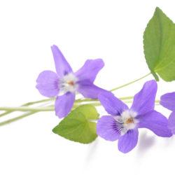 Fleur de violette sur fond blanc