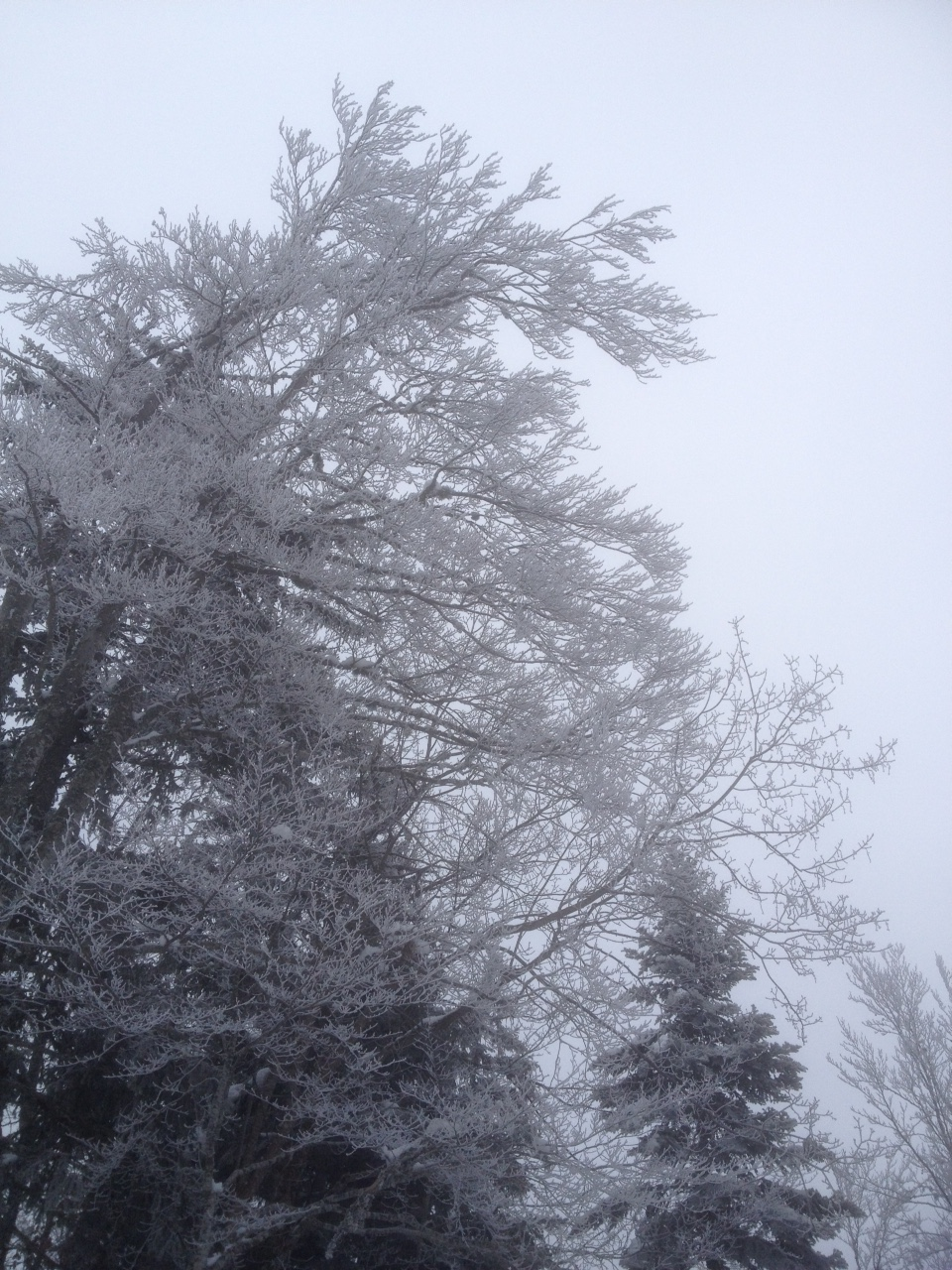Branche de hêtre givrée sur fond de ciel gris