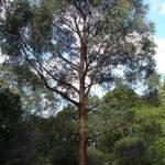 Arbre eucalyptus radié