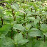 Plante menthe poivrée