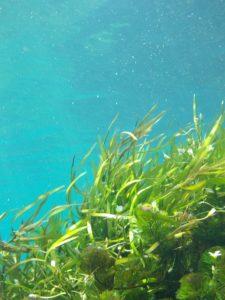 Des algues dans la mer